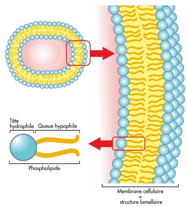 Schema-phospholipide-jonzac
