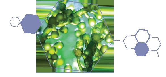 L'algue chlorelle, actif de la gamme anti-rougeurs Jonzac